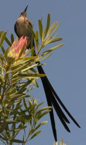 Sugarbird on Protea repens