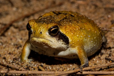 Breviceps mossambicus 1