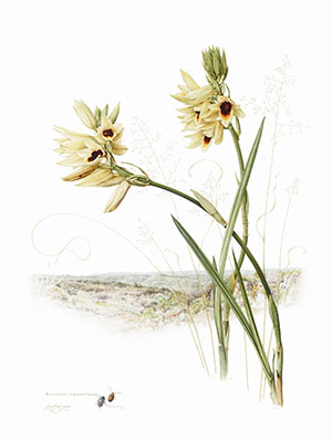 Eulophia welwitschii,  Jenny Hyde-Johnson - WOC Botanical Art Competition 2014