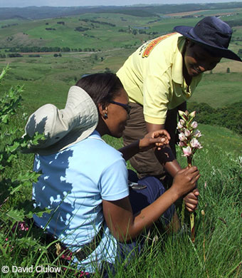 CREW KZN node interns, Hlengiwe Mtshali and Mbali Mkhize admiring the orchid, Disa crassicornis, atop of Edgeware Mountain on the KZN Midlands.