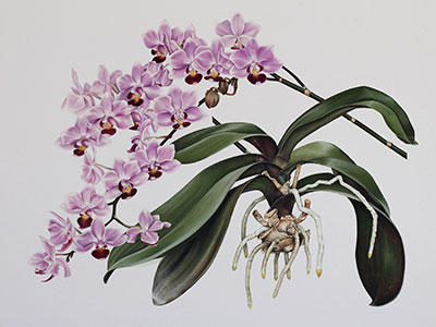 Janet Snyman's merit award, Phalaenopsis - WOC Botanical Art Competition