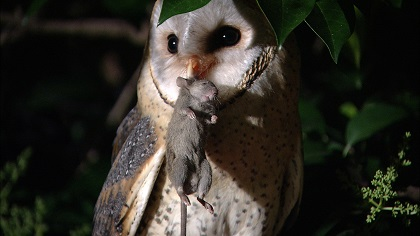 Western Barn Owl with mouse